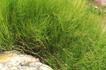 Ephedra (Ephedra sinica, Ephedra intermedia, Ephedra equisetina)